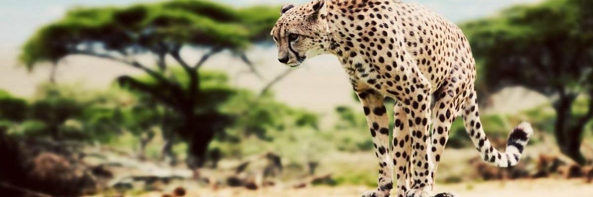 Show big kena leopard 1200