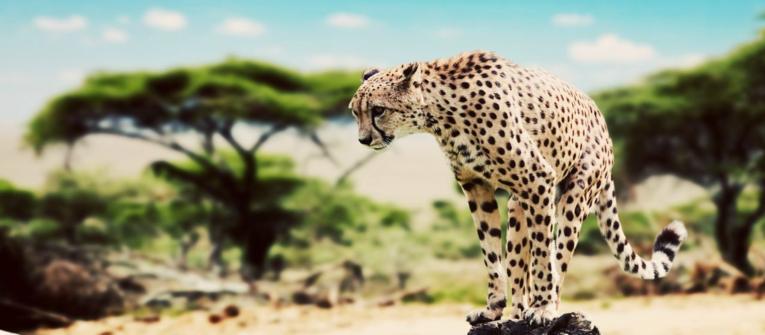 Index big wide kena leopard