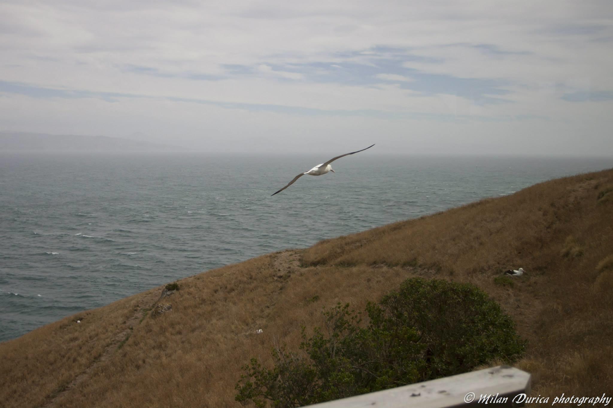 Albatros kráľovský