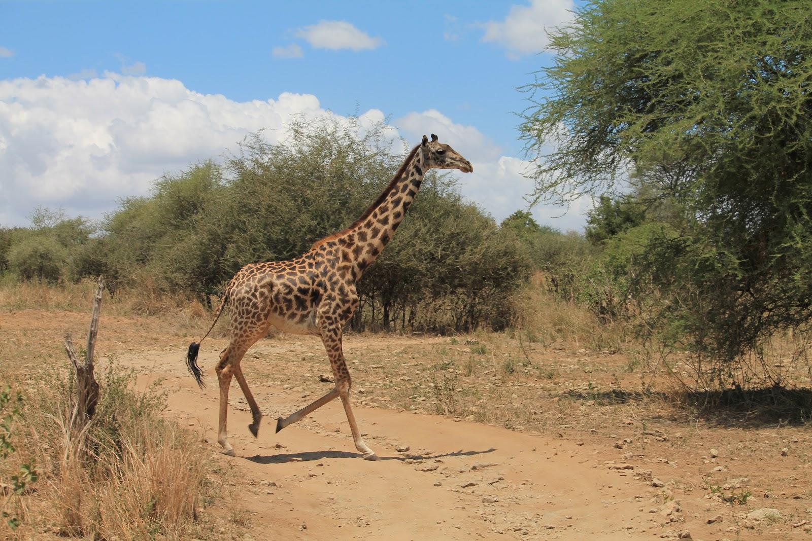 Bežiaca žirafa, národný park Tarangire