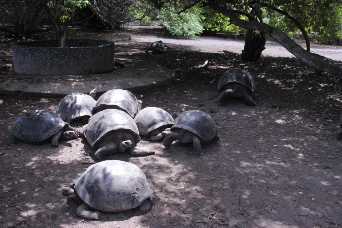 Chovná stanica korytnačiek - Isla Isabela - Galapágy