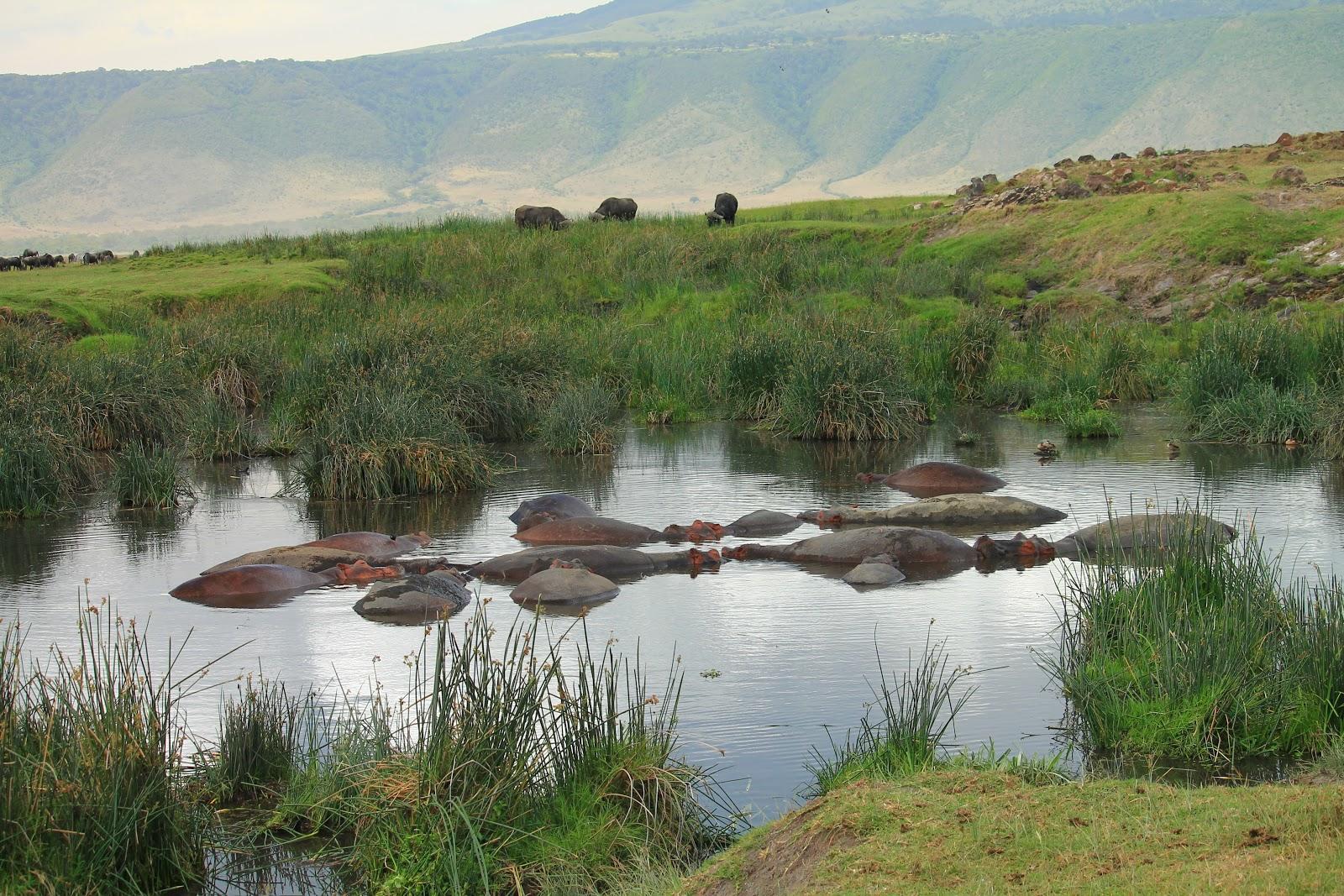 Hrochy, ktoré takmer vôbec nevychádzajú z jazierka, Ngorongoro