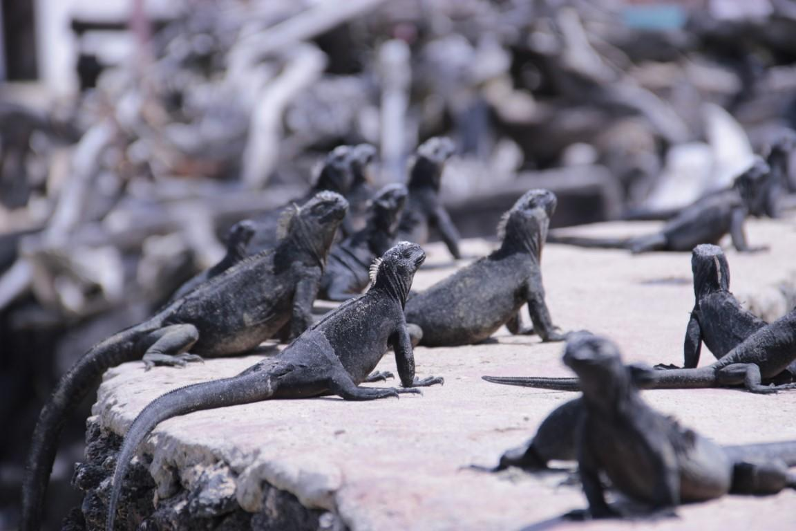 Iguany - Puerto Villamil - Isla Isabela - Galapágy