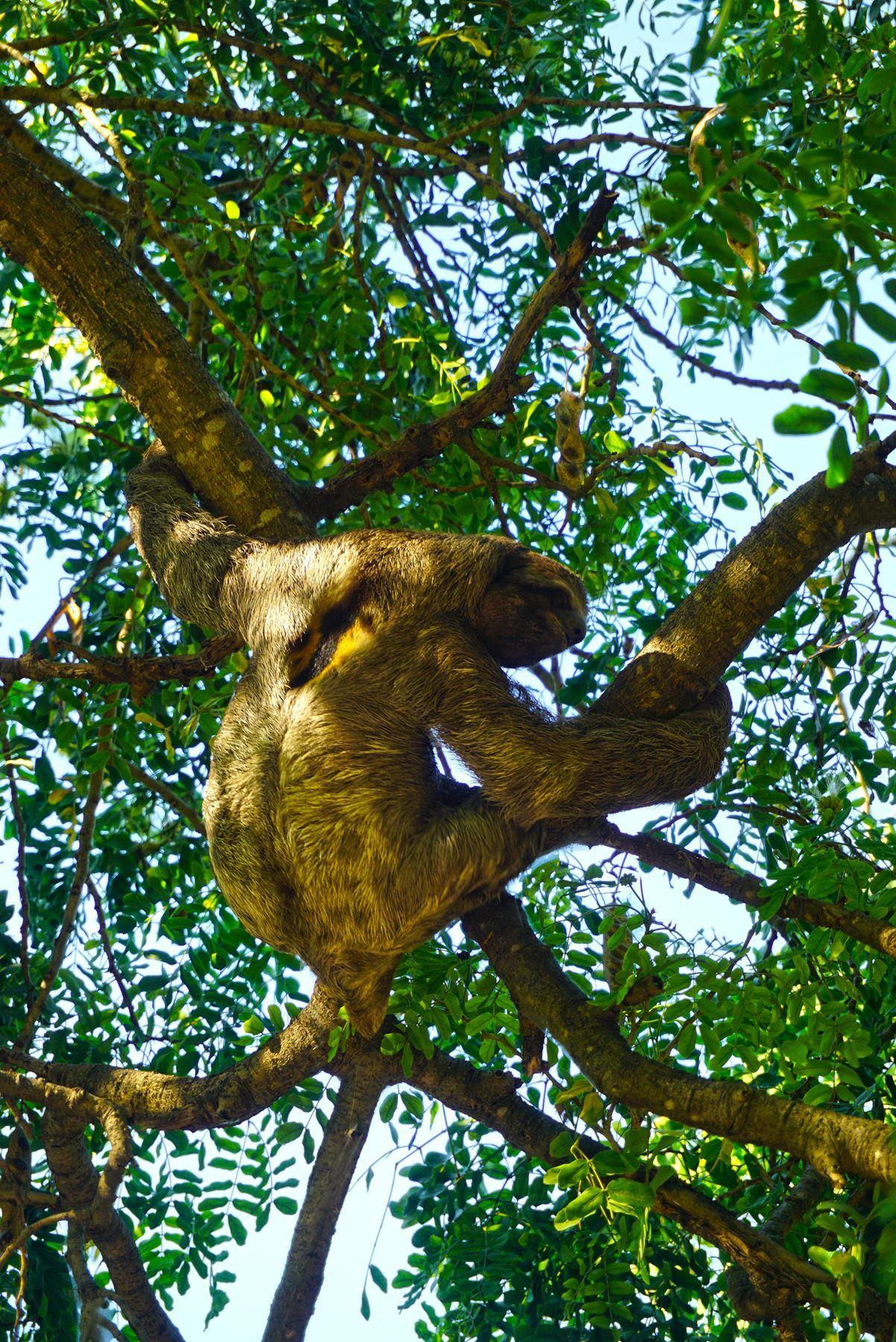Leňoch na strome v mestskom parku v Cartagene