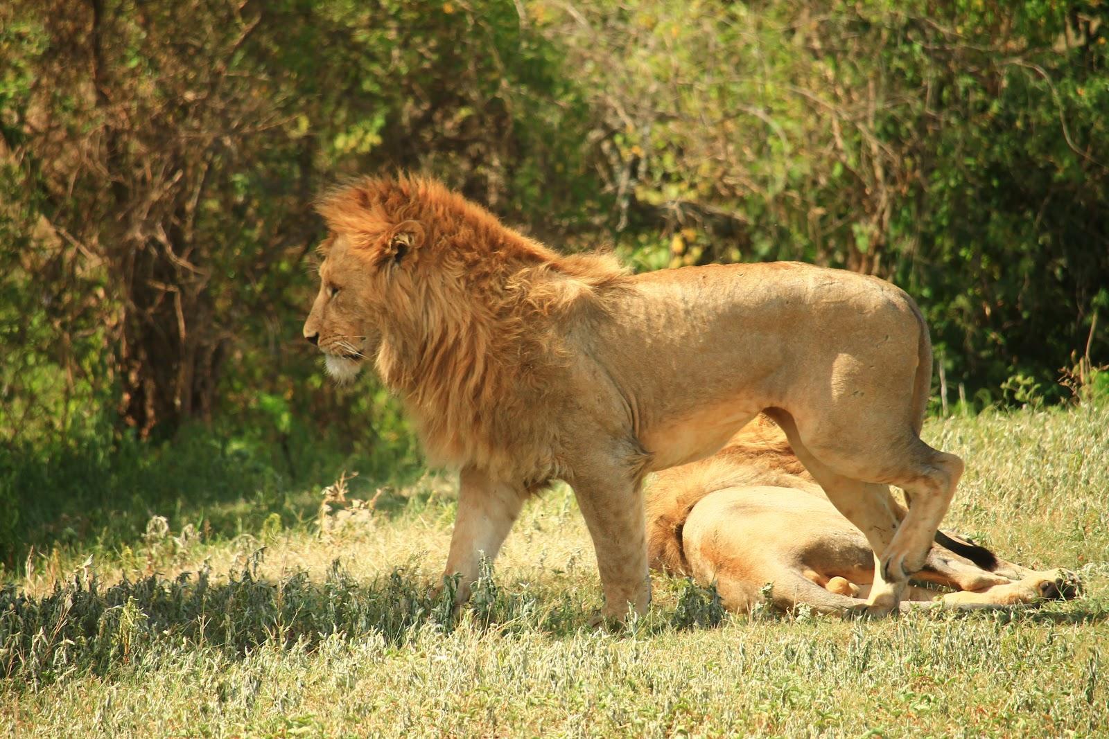 Lev, ktorý si hľadá úkryt pred slnkom, Ngorongoro
