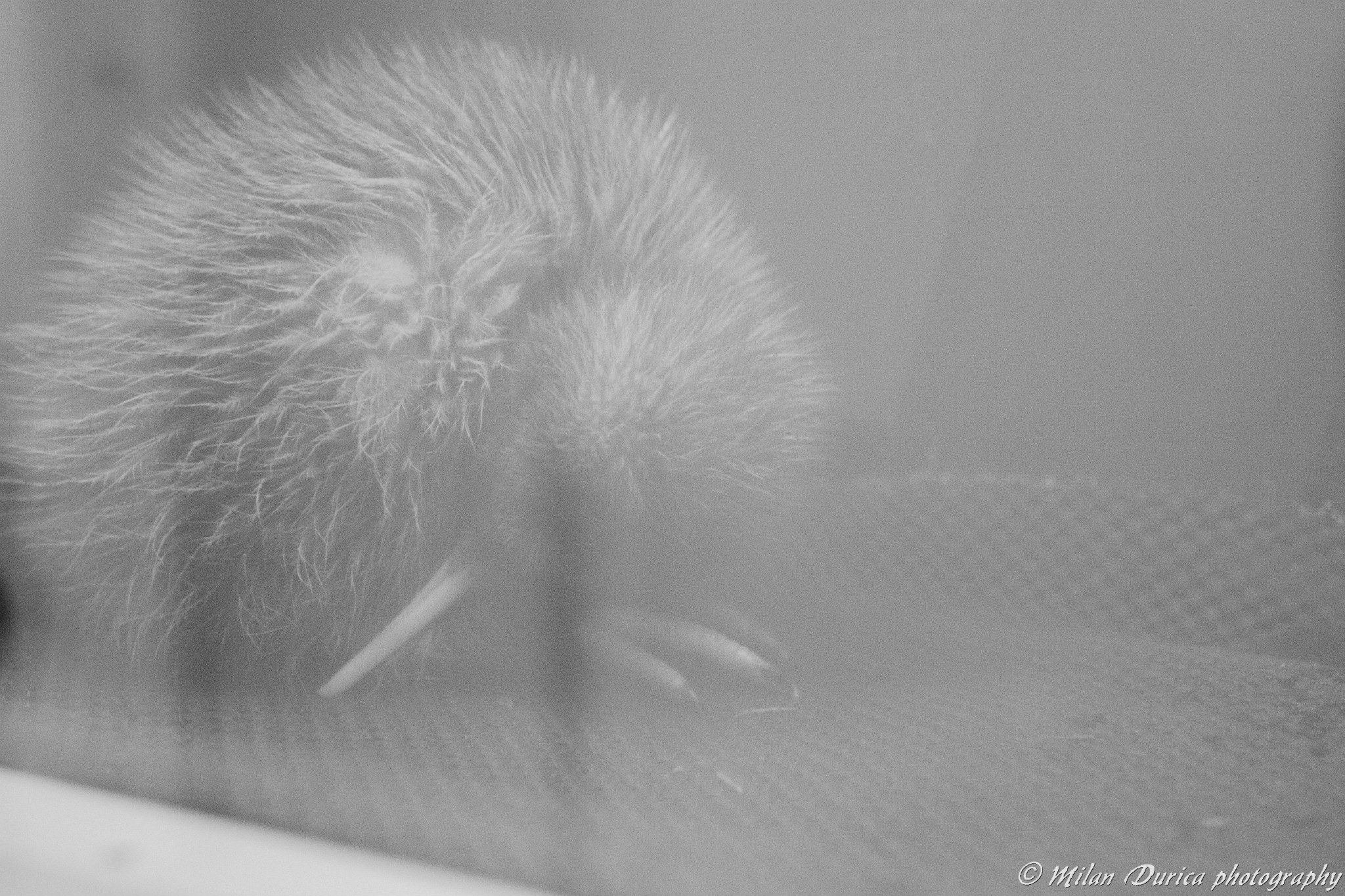 Mláďa kiwi vo West Coast Wildlife Center