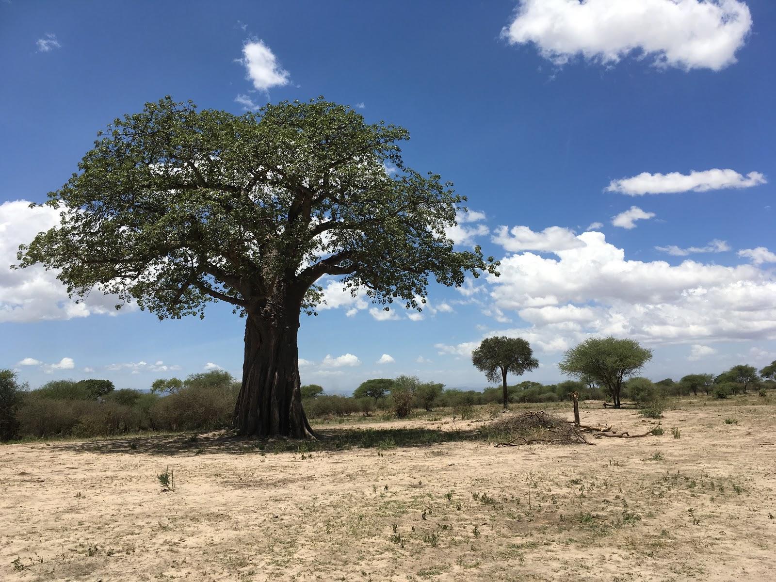 Mohutný baobab, typický strom v tropickej časti Afriky