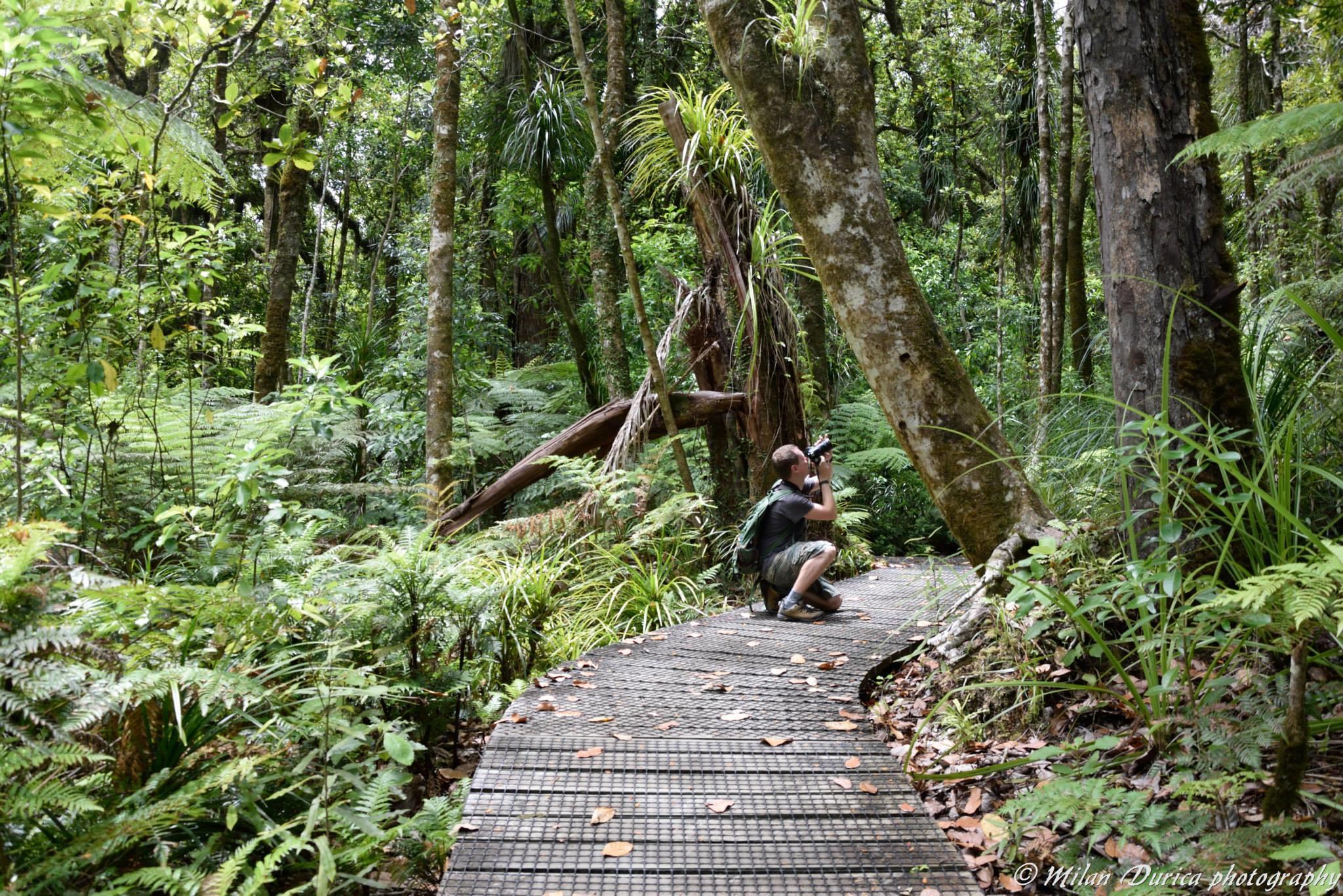 Pôvodný Kauri les
