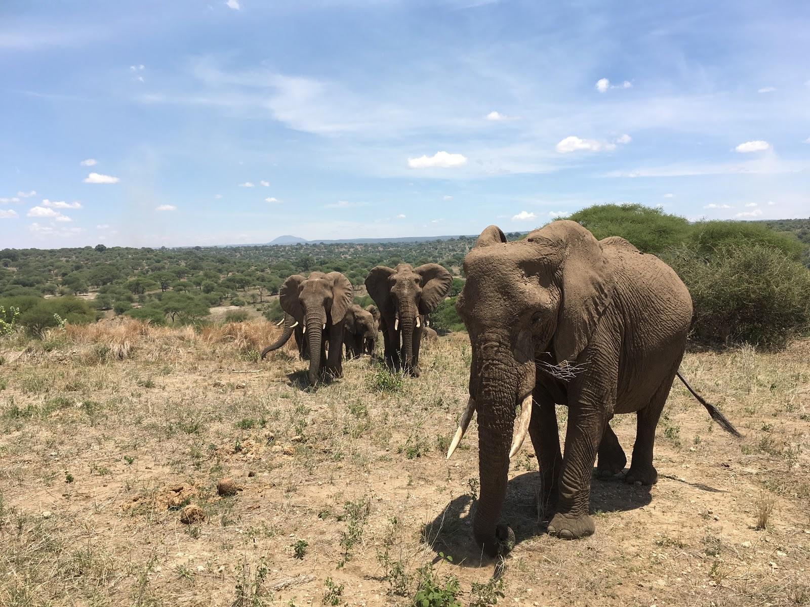 Slonia rodinka, ktorá bola od nás asi 4 metre, národný park Tarangire