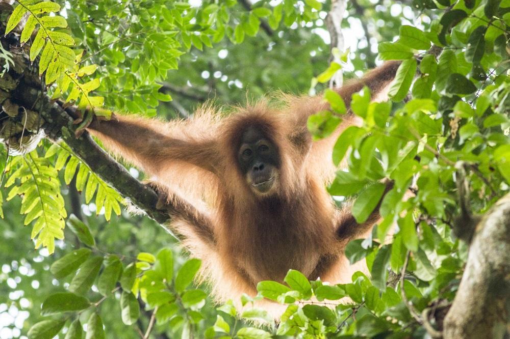 Tomas Smatrala - Orangutan, Sumatra, Indonezia