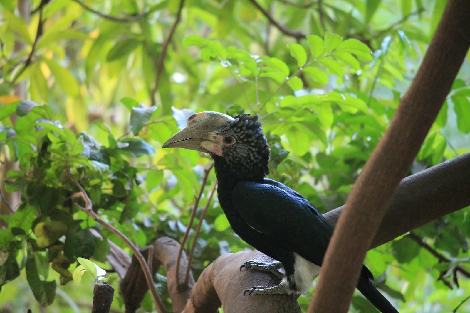 Vták Silvery-cheeked hornbill, Lake Manyara