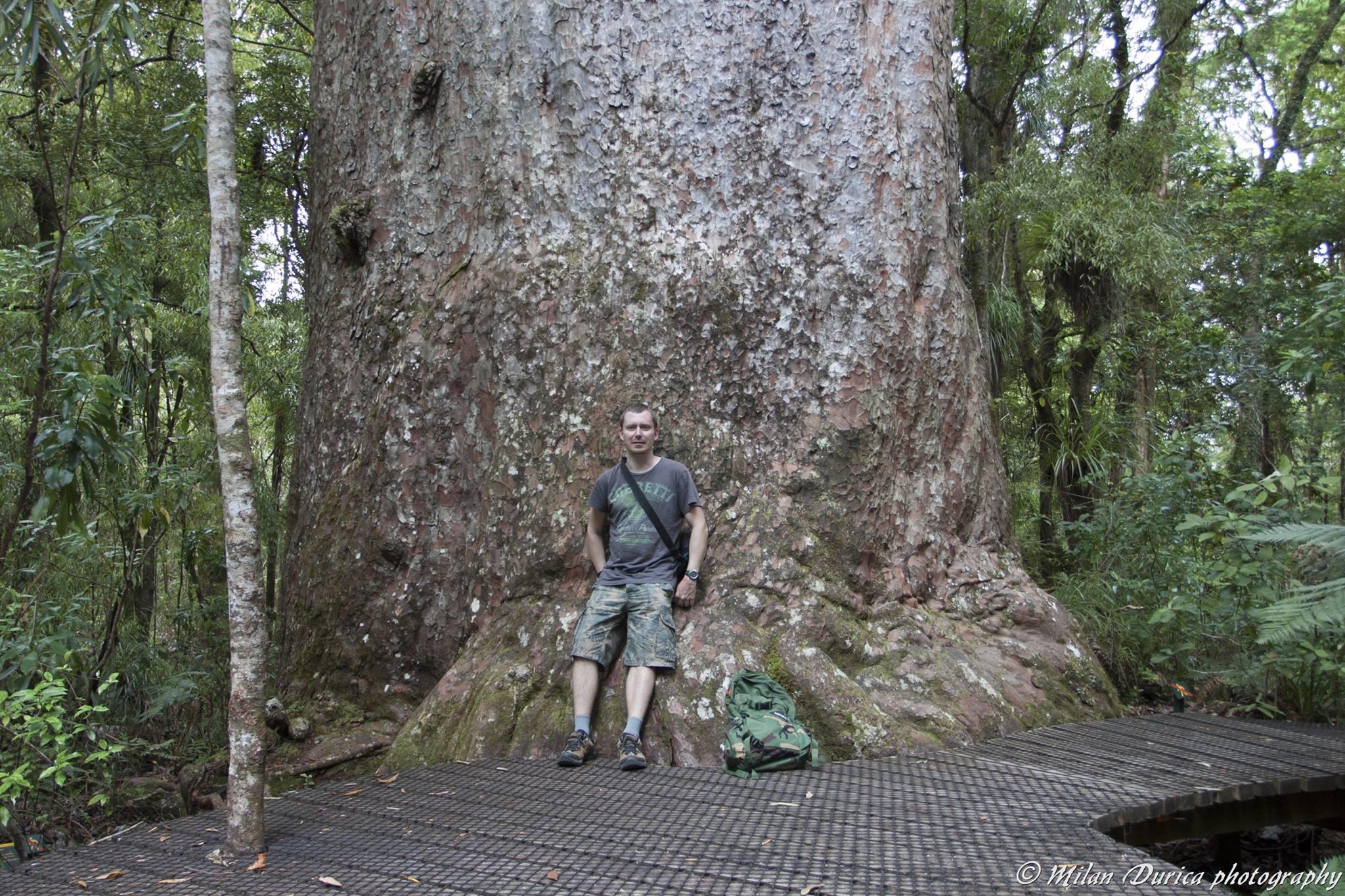 Yakas - kauri strom